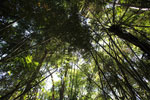 Bamboo forest in the Amazon