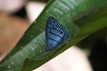 Blue butterfly (Satyr species) [manu_0738]
