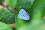 Blue butterfly (Satyr species) [manu_0746]