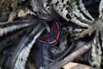 Meneria Metalmark (Amarynthis meneria) [manu_0763]