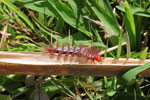 White and black caterpillar with red spines [manu_0771]