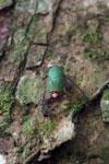 Green cicada [manu_0792]