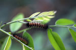 Red and black caterpillar