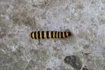 Yellow and black striped caterpillar