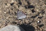 88 Butterfly (Diaethria clymena)