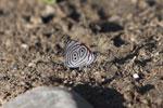 88 Butterfly (Diaethria species) [manu_0883]