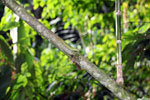 Giant green anole [manu_0930]