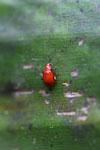 Red beetle [manu_0962]