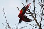 Pair of scarlet macaws playing [manu_0973]