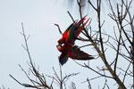 Pair of scarlet macaws playing [manu_0974]