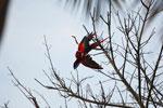 Pair of scarlet macaws playing [manu_0976]