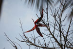 Pair of scarlet macaws playing