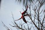 Pair of scarlet macaws playing [manu_0979]