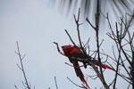 Pair of scarlet macaws [manu_0986]