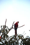 Scarlet macaw in the Amazon [manu_1003]