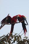 Pair of jawing scarlet macaws