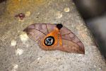 Leaf moth with a large eyespot [manu_1044]