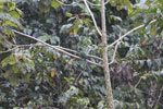 Highland Motmot (Momotus aequatorialis)