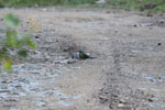 Blue-crowned Motmot (Momotus momota)