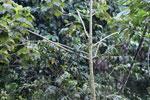 Blue-crowned Motmot (Momotus momota) [manu_1072]