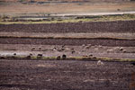 Sheep grazing a field in Peru [wayquecha-andes_0016]
