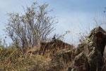 Rock dove [wayquecha-andes_0028]