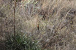 Giant Hummingbird (Patagona gigas) [wayquecha-andes_0036]