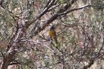 Blue-and-yellow Tanager (Thraupis bonariensis)