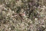 Rufous-collared Sparrow (Zonotrichia capensis)