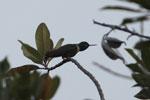 Collared Inca hummingbird (Coeligena torquata)  [wayquecha-andes_0368]