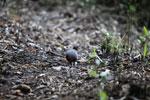 Hooded Tinamou (Nothocercus nigrocapillus) [wayquecha-andes_0436]