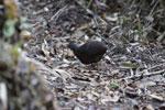 Hooded Tinamou (Nothocercus nigrocapillus) [wayquecha-andes_0440]