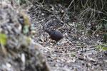 Hooded Tinamou (Nothocercus nigrocapillus) [wayquecha-andes_0442]