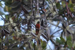 Chestnut-breasted Coronet (Boissonneaua matthewsii) [wayquecha-andes_0468]