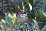 Rufous-collared Sparrow (Zonotrichia capensis) [wayquecha-andes_0477]