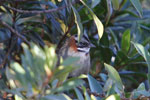Rufous-collared Sparrow (Zonotrichia capensis) [wayquecha-andes_0478]