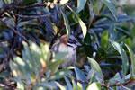 Rufous-collared Sparrow (Zonotrichia capensis) [wayquecha-andes_0480]