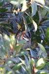 Rufous-collared Sparrow (Zonotrichia capensis) [wayquecha-andes_0481]