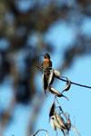 Shining Sunbeam (Aglaeactis cupripennis)