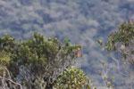 Grass-green Tanager (Chlorornis riefferii) [wayquecha-andes_0505]