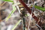 Peruvian dragonfly