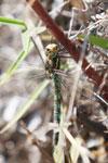 Dragonfly in Peru