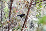 Slate-throated redstart (Myioborus miniatus) or Slate-throated Whitestart (Myioborus miniatus) (?) [wayquecha-andes_0596]