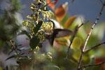 Tyrian Metaltail (Metallura tyrianthina) in flight