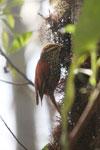 Pearled Treerunner (Margarornis squamiger) [wayquecha-andes_0623]