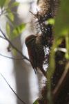 Pearled Treerunner (Margarornis squamiger) [wayquecha-andes_0624]