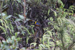 Golden-collared tanager [wayquecha-andes_0645]