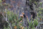 Rufous-bellied bush-tyrant