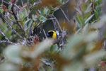 Golden-collared tanager [wayquecha-andes_0678]