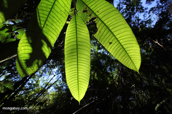Leaves in the Peruvian Amazon. Photo by: Rhett A. Butler.